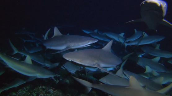Fakarava, hundred of grey sharks hunting at night over the reef