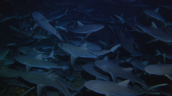 Fakarava, hundred of grey sharks hunting at night over the reef