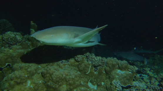 Fakarava, nurse shark evolving at night over the reef