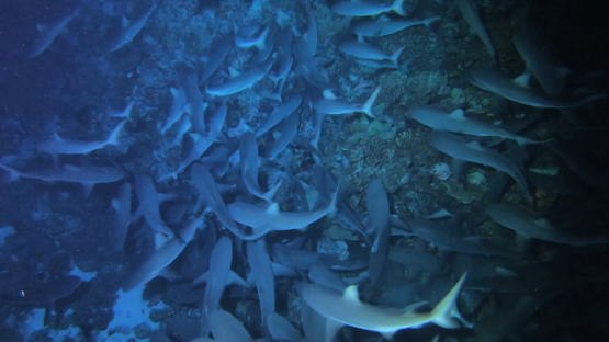 Fakarava, frenzy of hundred of grey sharks hunting at night over the reef