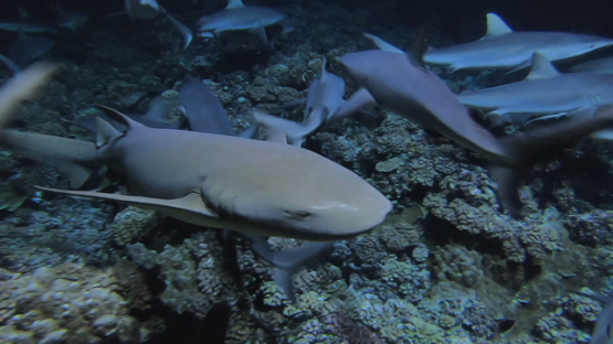 Fakarava, nurse shark and grey sharks evolving at night over the reef