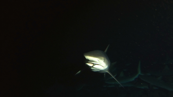 Fakarava, grey sharks hunting at night over the reef, prey in jaw