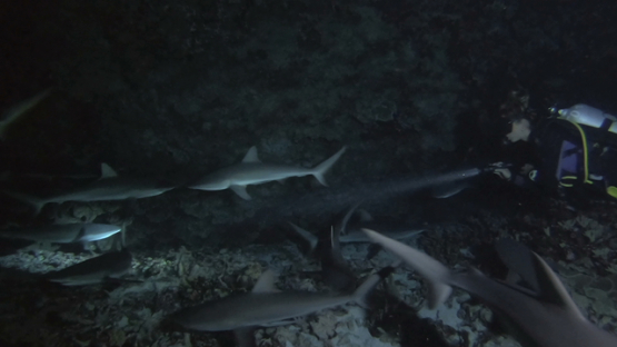 Fakarava, scuba diver evolving among hundred of grey sharks at night over the reef