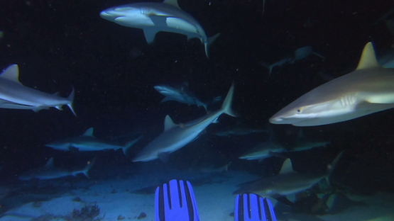 Fakarava, hundred of grey sharks at night behind scuba diver s fins