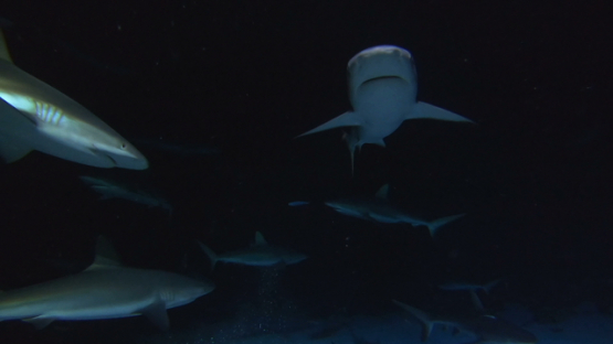 Fakarava, grey sharks at night over the reef