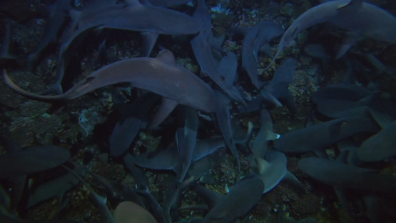 Fakarava, grey sharks swarm hunting at night under a scuba diver s fins