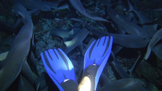 Fakarava, hundred of grey sharks evolving at night under scuba diver s fins
