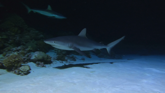 Fakarava, grey sharks over the reef at night
