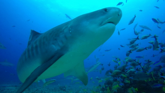 Tahiti, tiger shark swimming towards the camera and the snappers