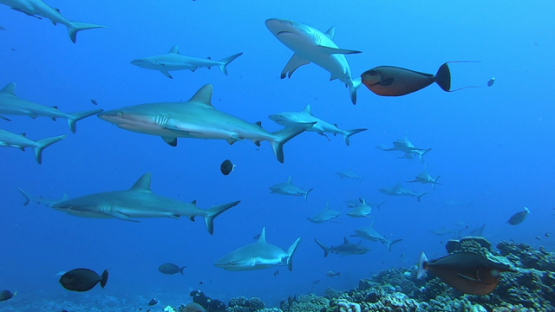 Fakarava, group of grey sharks over the coral reef