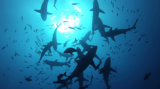 Tahiti, group of grey sharks excited over the camera