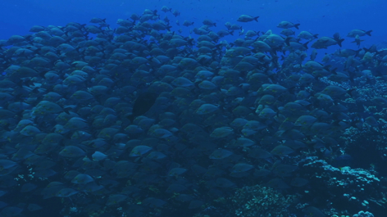 Fakarava, huge school of red paddletail snappers in the pass, 4K UHD