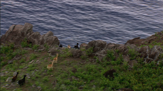Hiva Oa, aerial view, wild herd of goats running on the mountain