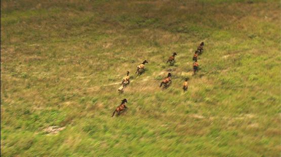 Aerial view over the desert land, and herd of wild horses running away, Nuku HIva