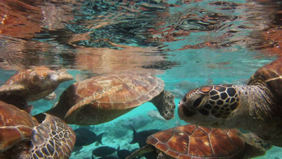 Juvenile Green sea Turtles and tropical fishes in the lagoon of Bora Bora