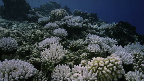 Rangiroa, Coral bleaching on the reef, 6K
