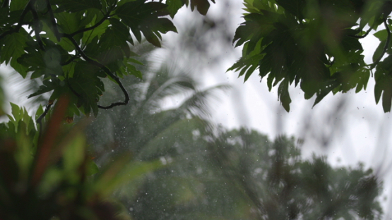 Tropical Rain on the bread fruit trees, marquesas islands