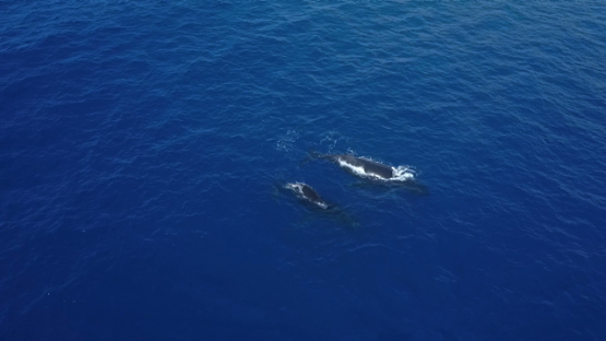 Aerial video by drone of humpback whales, mother and calf swimming by the surface, Tahiti, Polynesia