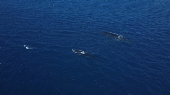 Aerial video by drone of four humpback whales, two mothers and two calfs resting by the surface, Tahiti, Polynesia
