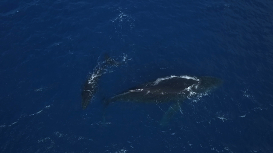 Aerial video by drone of humpback whales, mother and calf resting by the surface, Tahiti, Polynesia