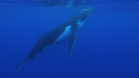 Moorea, Humpback whale in the big blue, french Polynesia