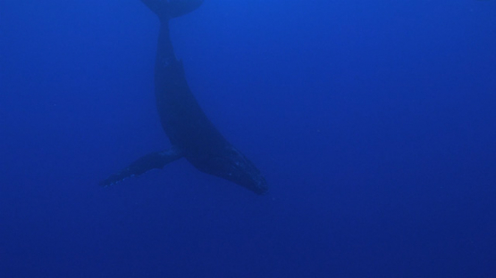 Moorea, Humpback whales in the big blue, french Polynesia