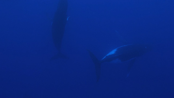 Moorea, three Humpback whales in the big blue, french Polynesia