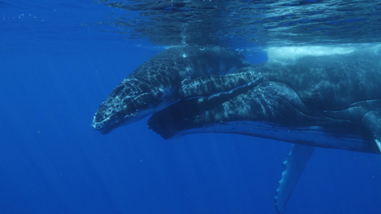 Moorea, Humpback whale, mother helping her calf to breath at the surface, french Polynesia