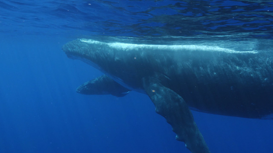 Moorea, Humpback whales, mothe and calf by the surface, french Polynesia