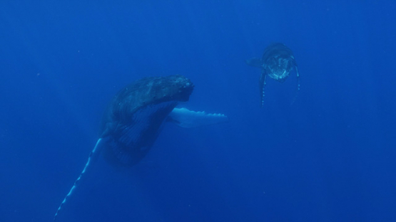Moorea, Humpback whale in the big blue with her calf and one swimmer, french Polynesia