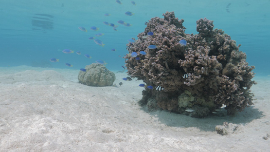 Moorea, Coral formation in the lagoon and blue damsel fishes, shallow Under the surface, French Polynesia