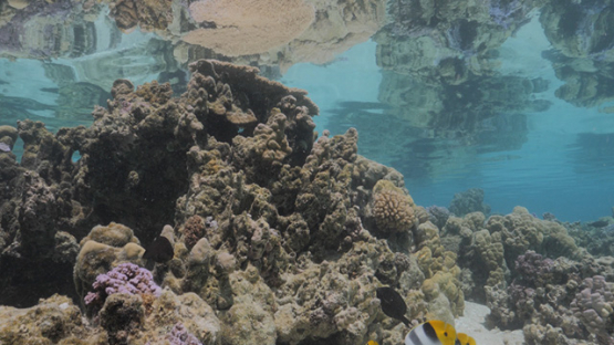 Moorea, Coral formation in the lagoon and butterfly fishes, shallow Under the surface, French Polynesia