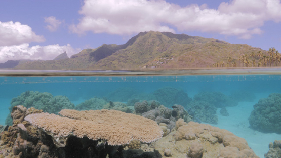 Moorea, undersea life in the lagoon and island in the background, French Polynesia