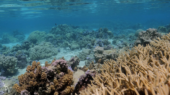 Moorea, Coral formation in the lagoon, shallow Under the surface, French Polynesia