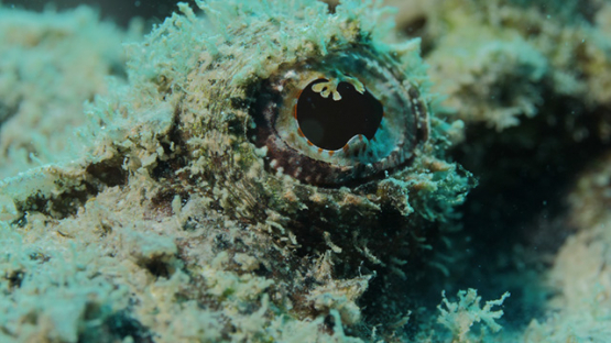 Eye of scorpion fish in the lagoon, macro shot, Moorea, French Polynesia, 4K UHD