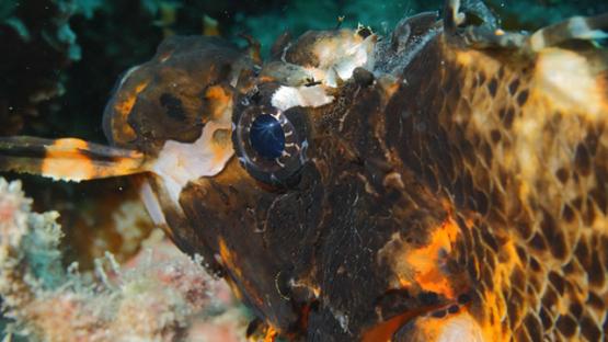 Macro shot of Twospot turkeyfish or ocellated lionfish, Moorea, 4K UHD