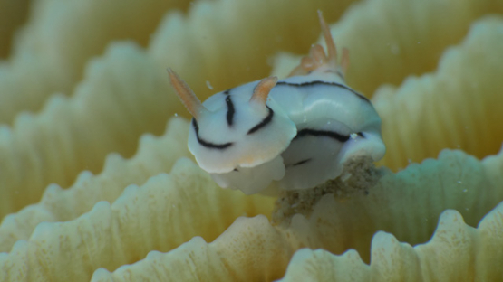 Macro shot of nudibranch Chromodoris locki on mushroom coral, 4K UHD
