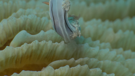 Macro shot of nudibranch Chromodoris locki on mushroom coral, 4K UHD