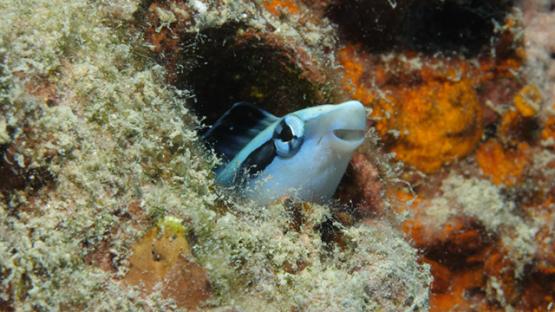 Macro shot of Mimic Blennie in her nest, lagoon of Moorea, 4K UHD