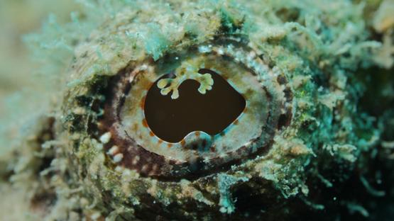 Eye of scorpion fish in the lagoon, macro shot, Moorea, French Polynesia, 4K UHD