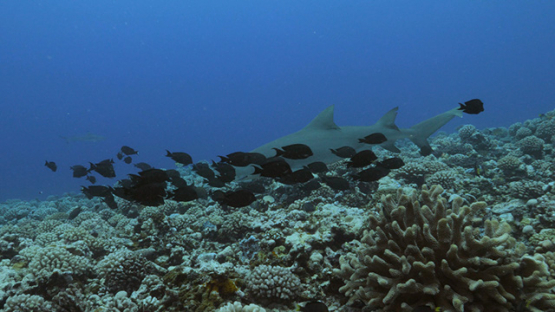 Moorea, Lemon shark  swimming on the coral reef and tropical fishes, French Polynesia 4K UHD