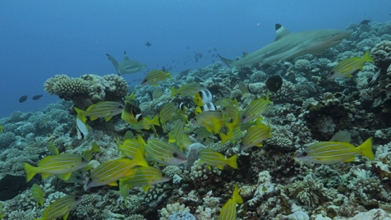 Moorea, coral reef, tropical fishes and black tip lagoon shark, French Polynesia, 4K UHD