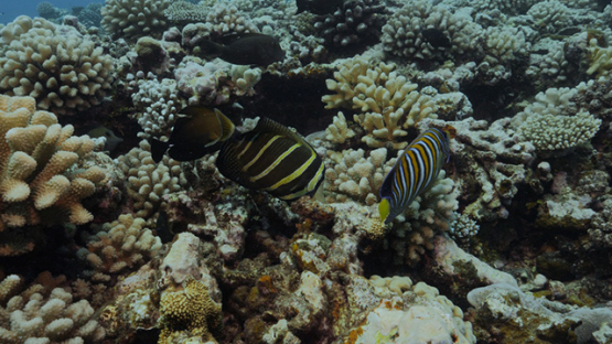 Moorea, coral reef and tropical fishes, French Polynesia,  4K UHD