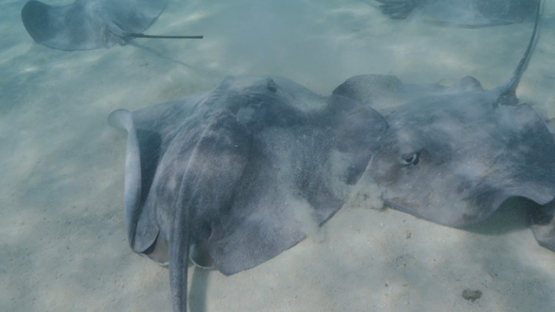 Moorea, sting ray on white sand in the lagoon, french Polynesia,  4K UHD