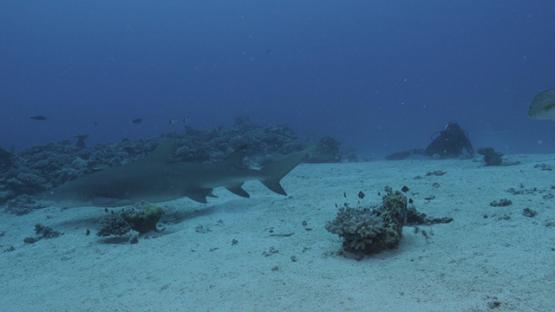 Black tip shark and scuba diver in the lagoon, Moorea, French POlynesia