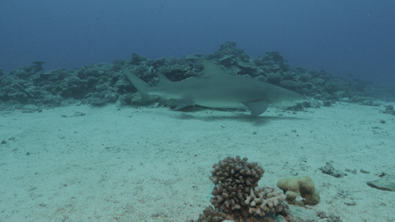 Lemon shark in the lagoon, Moorea, French POlynesia