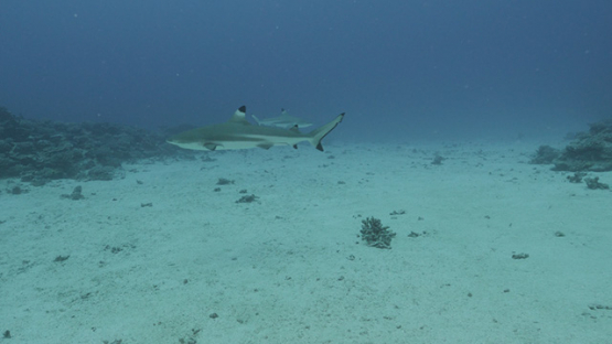Black tip shark and tropical fishes in the lagoon, Moorea, French POlynesia