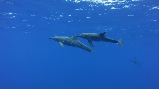 Spinner dolphin swimming in the ocean, Moorea, French Polynesia