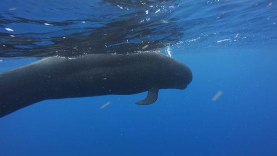 Pilot whales swimming in the ocean, close to camera, Moorea, French Polynesia