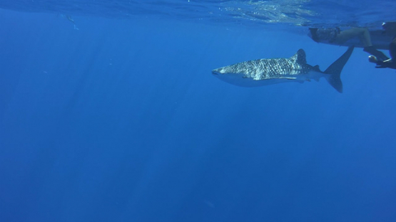 Young whale shark swimming in the ocean, Moorea, French Polynesia
